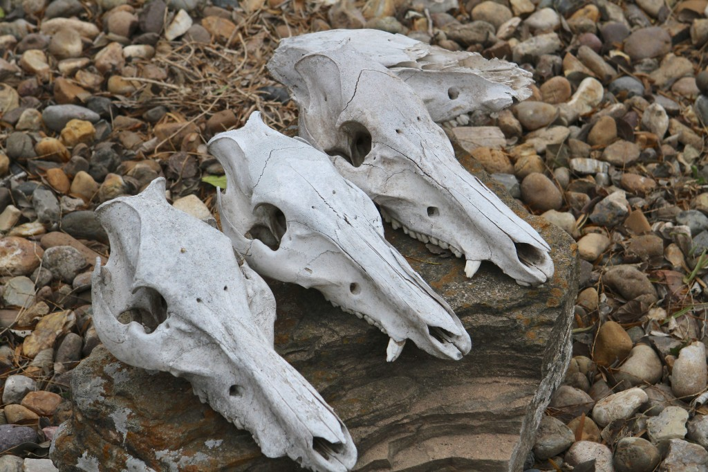 Feral Hog Skulls