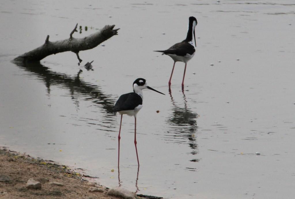 Black neck Stilts