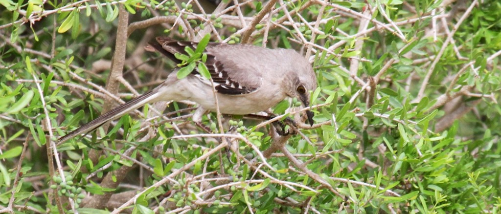 The Texas State Bird, The Northern Mocking bird