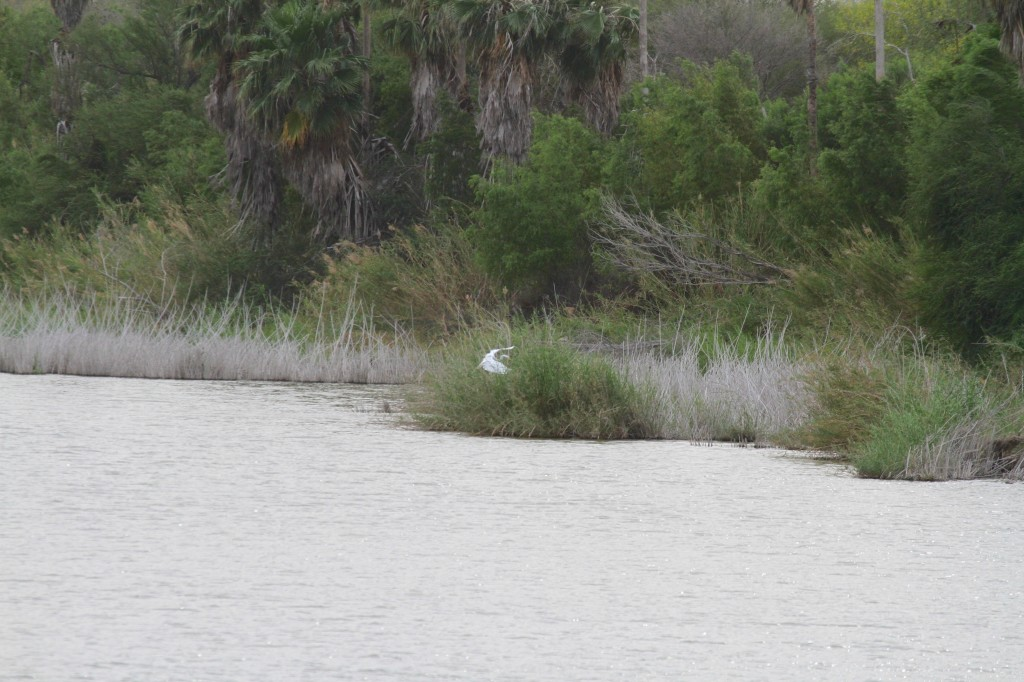 Great Egret sets down on a Reseca
