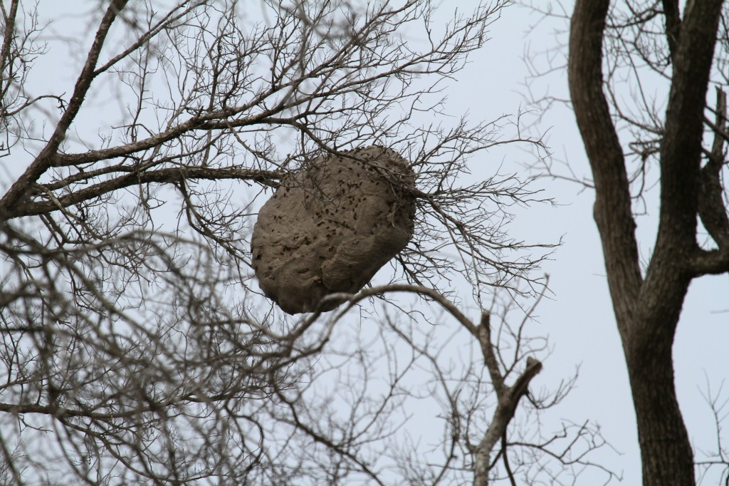 Huge Hornets nest