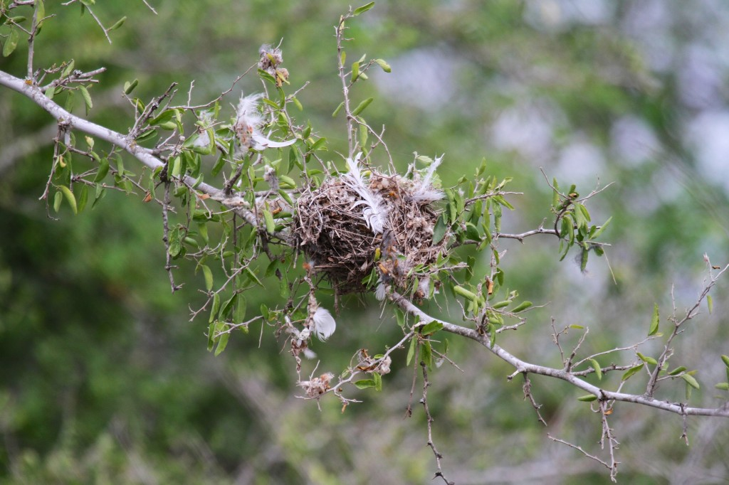 Vireo Nest maybe