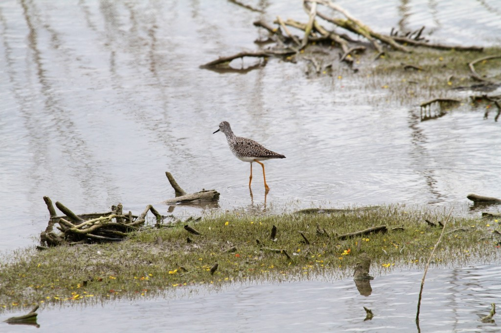 Lesser Yellow legs showing his legs
