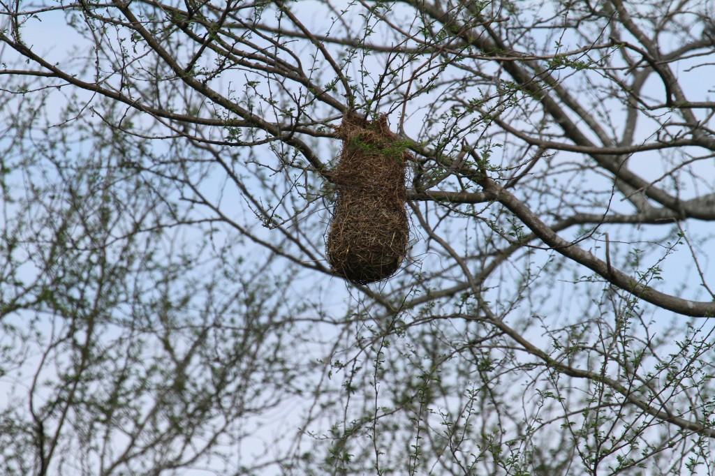 Orioles Nest