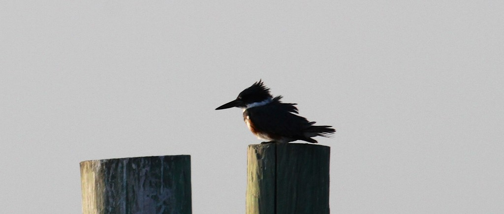 Actually a Belted Kingfisher here