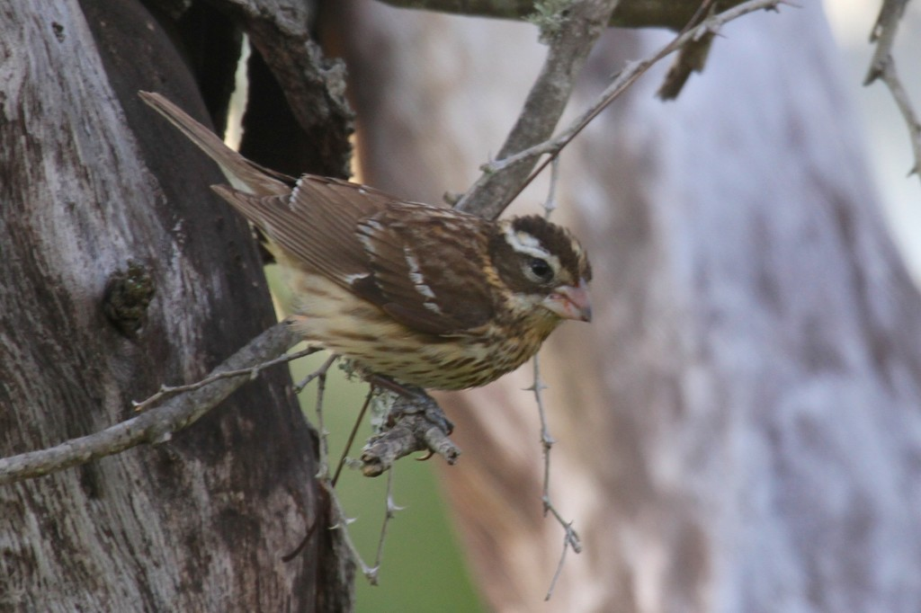 Sparrow or Thrush