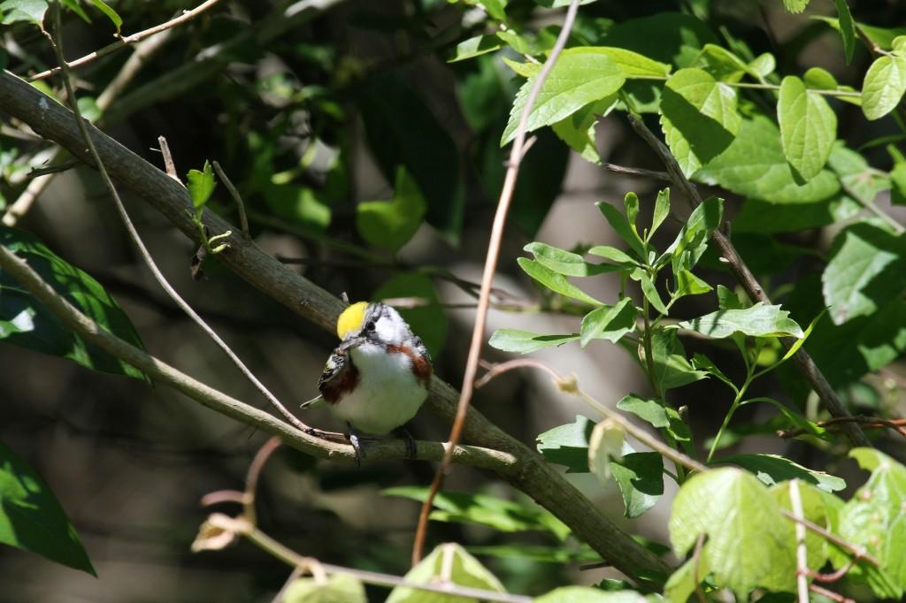 Chestnut Warbler