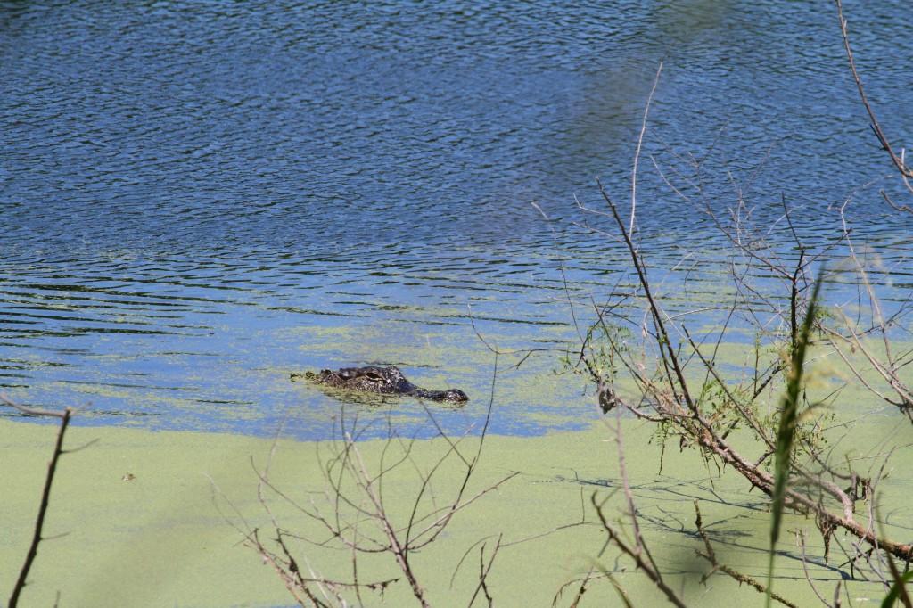 gator in open water