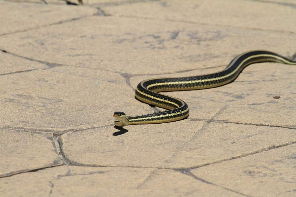 Big Garter Snake