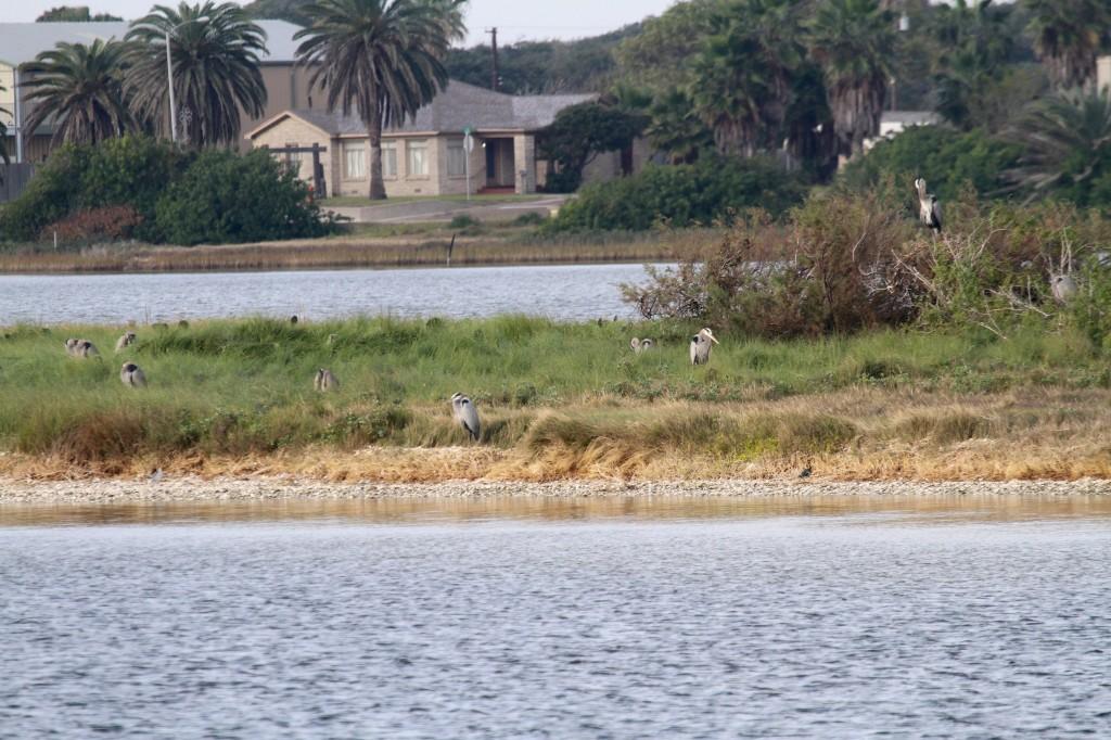 Night Herons on an island