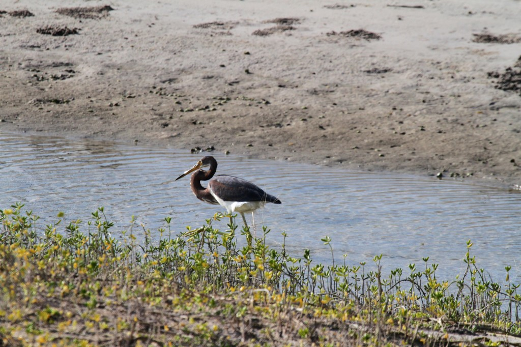 Not 100% identified by me yet.. looks like a blue heron with brown markings