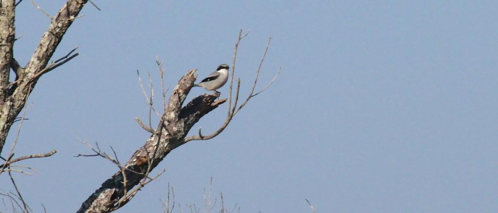 Logger Head Shrike