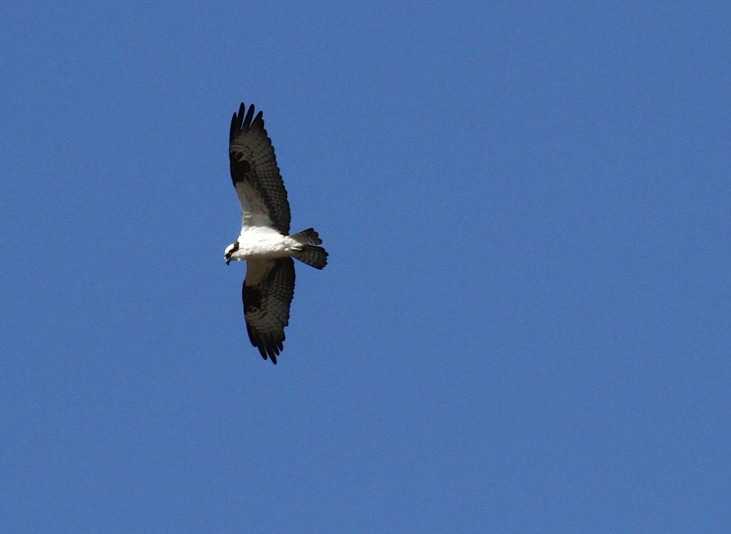 Osprey, on the Wing