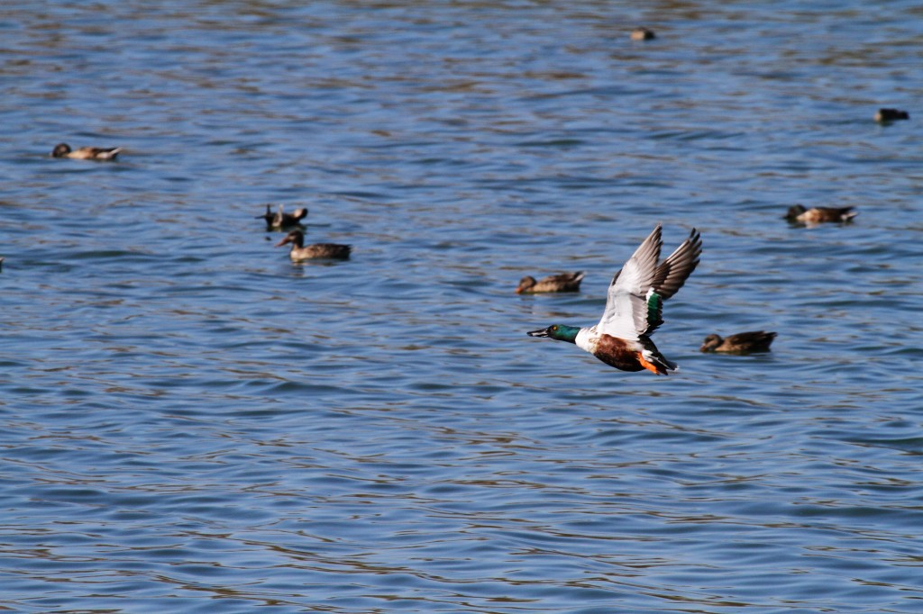 Northern Shoveler, these can look like Mallards!