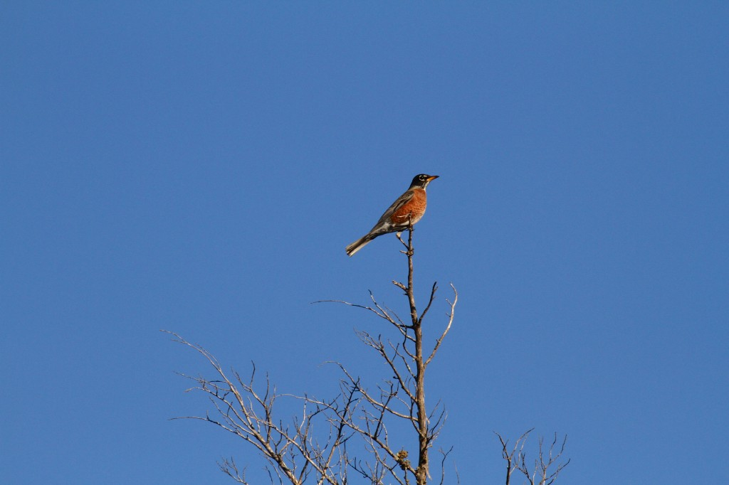 American Robin Migrating through