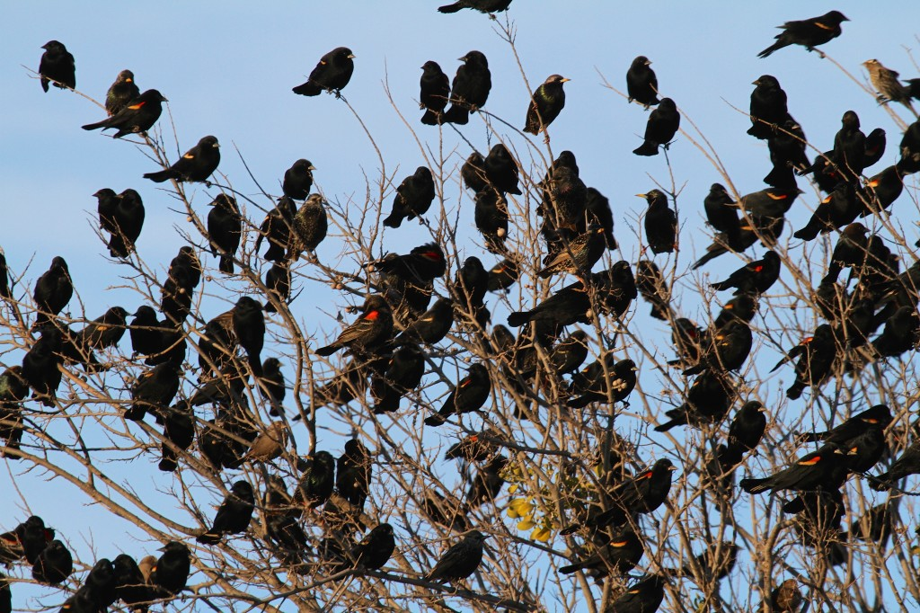 Red Wing Black birds Ganging up