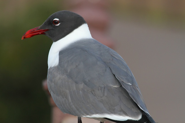 Easy.. The Laughing Gull