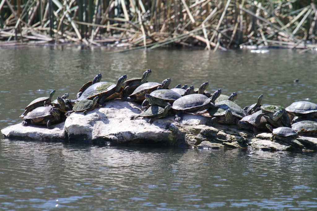 Red Eared Sliders...Mostly