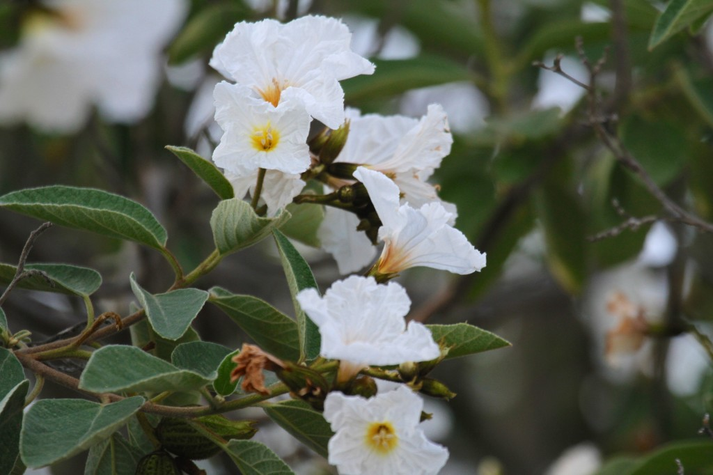 Wild Olive Trees were in Bloom