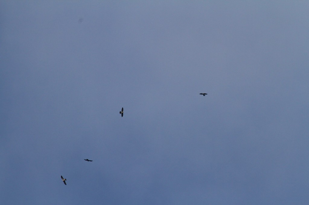 Broad Wing Hawks ride some Thermals early in the Morning