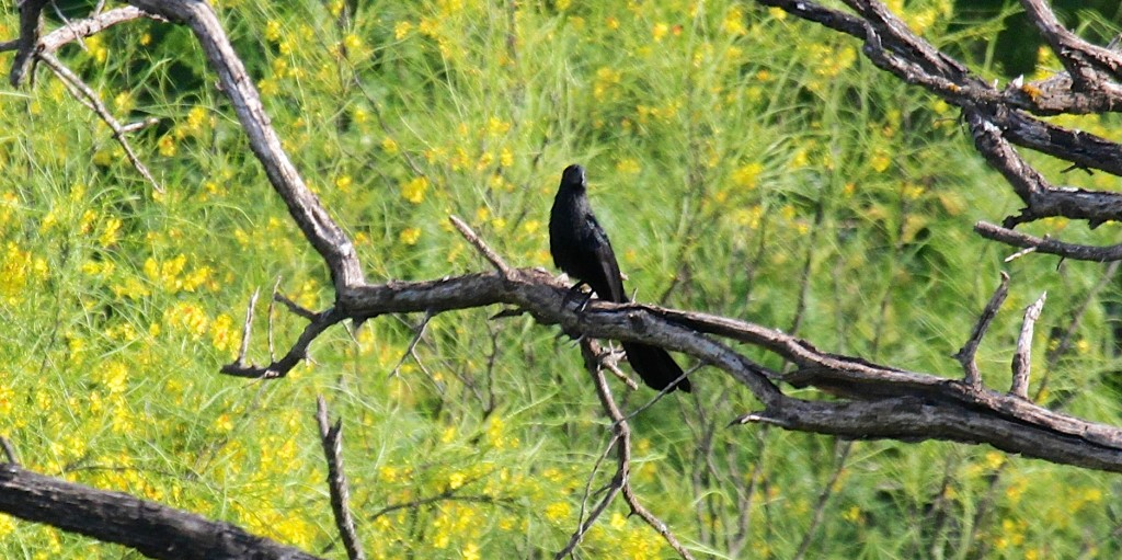 Grooved=Billed Ani a Life list bird for me