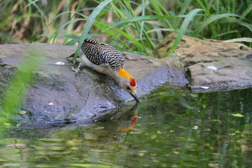 Yellow Fronted Woodpecker gets a drink of water on a hot day!