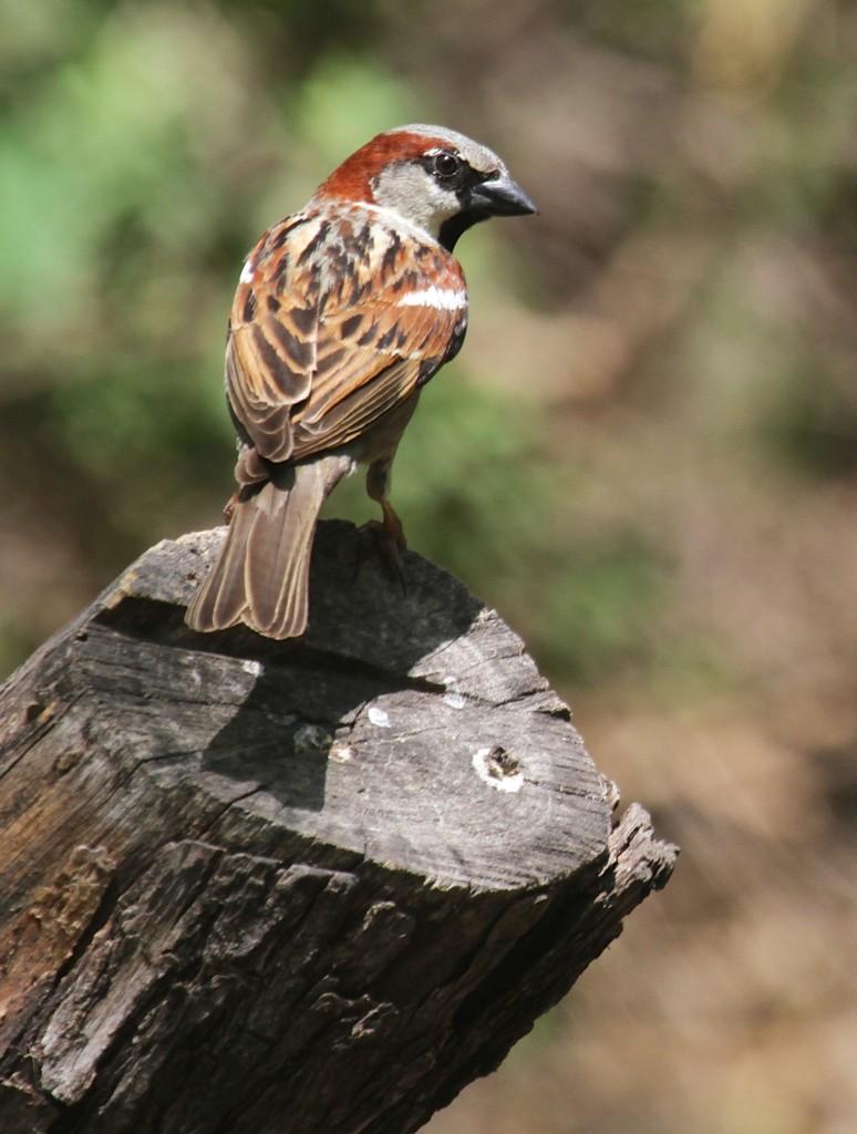 House Sparrow!