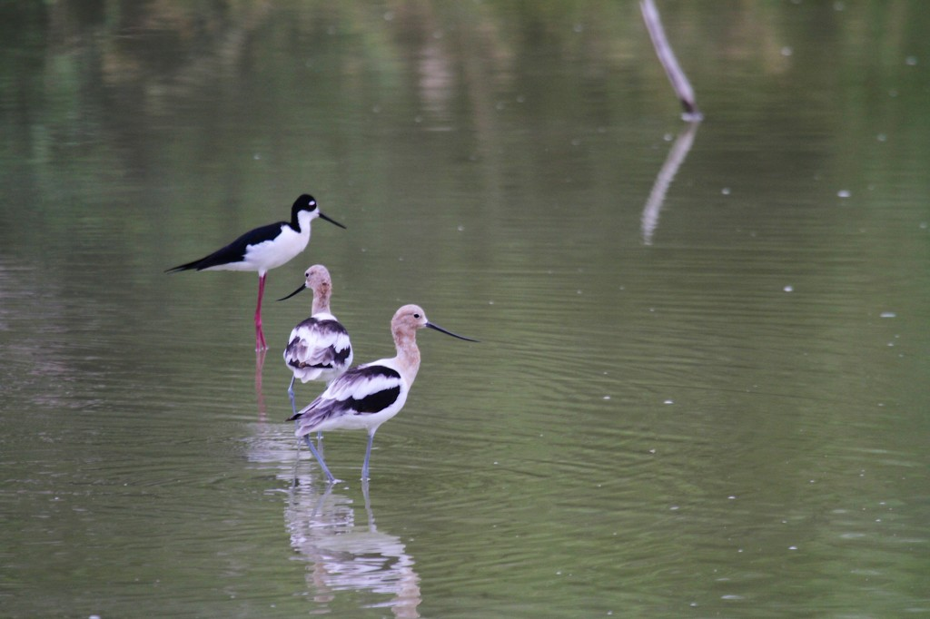 Black necked Stilt and Avocets