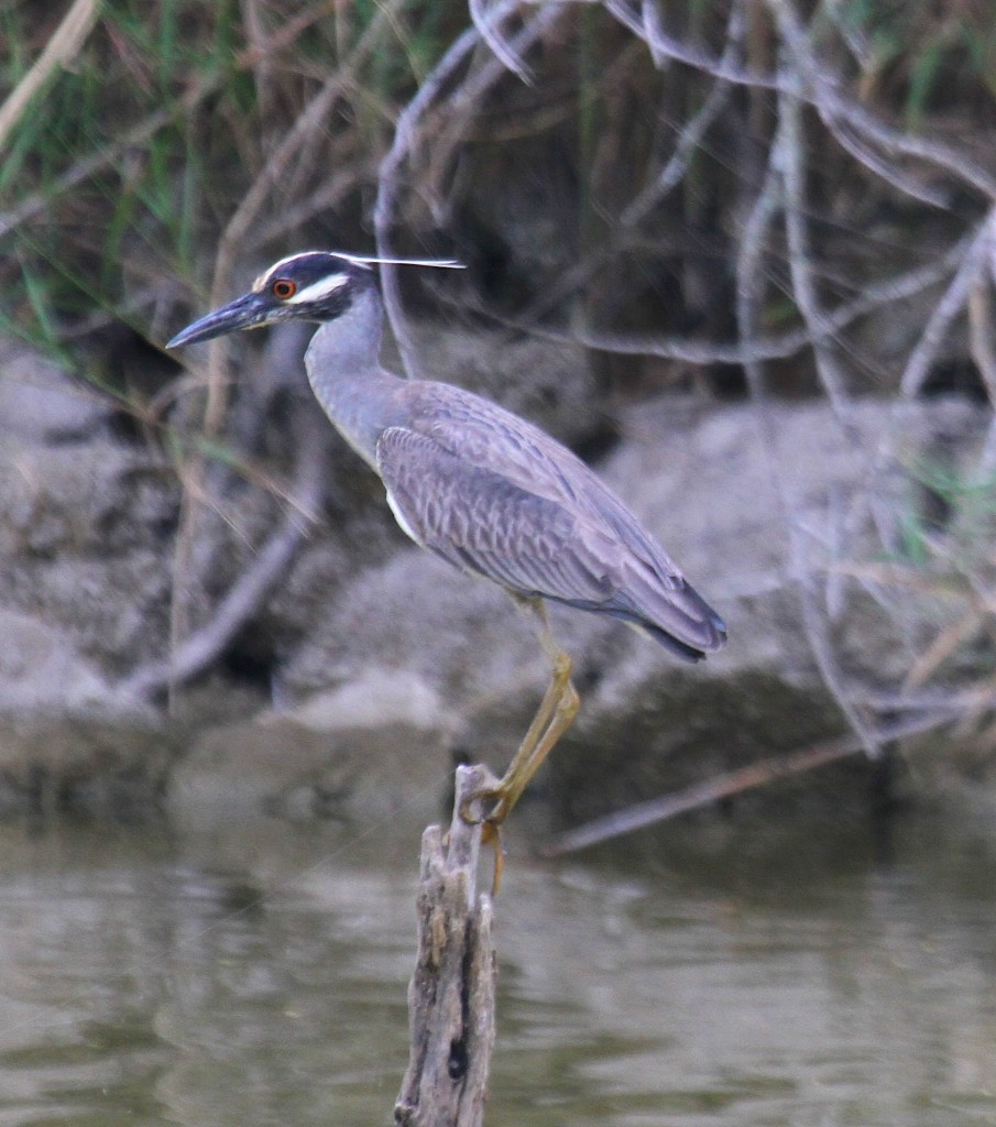 Silver Crowned Night Heron