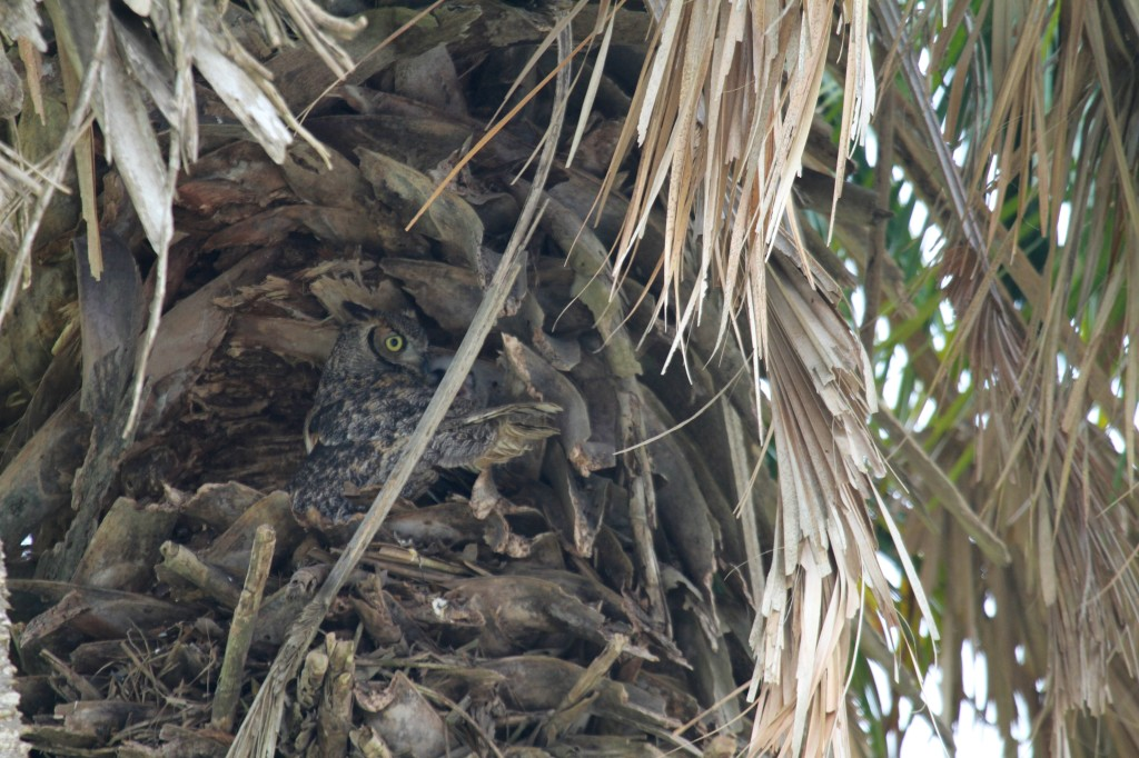 a Very well hidden Owl and her Young at Sabal Palms