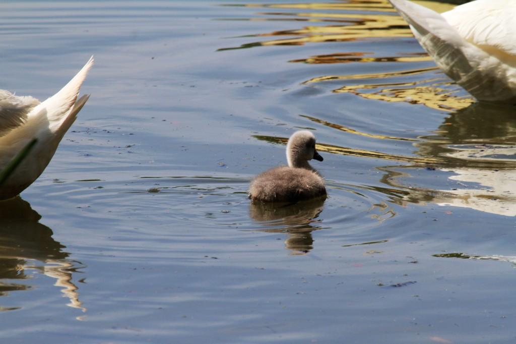 Little baby swan