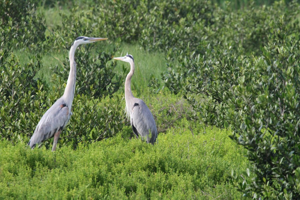 Herons on Watch