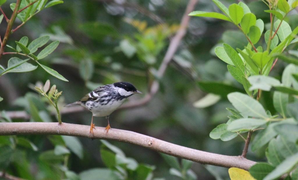 Black polled Warbler