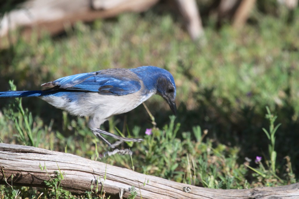 Western Scrub Jay coming in for a landing
