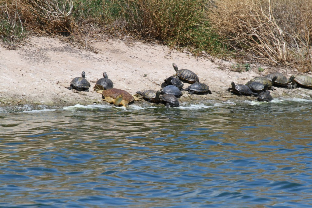 Group of Common Turtles