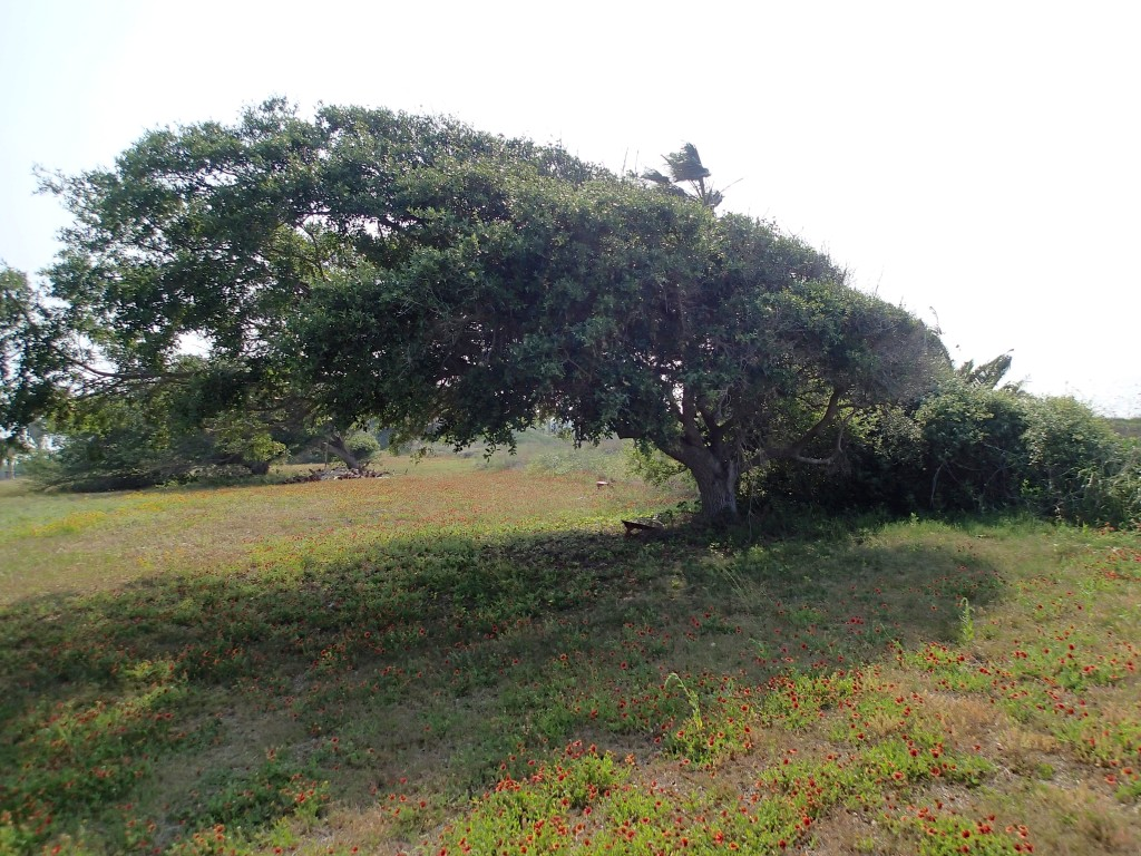 Wonderful Coastal Oak bent by the prevailing winds