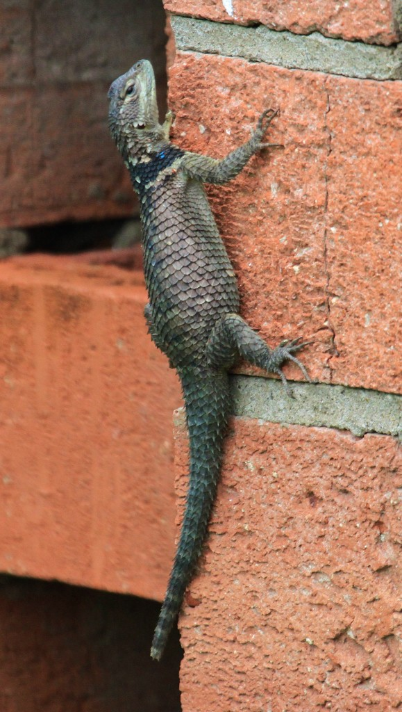 Another of that same lizard.. they were loving this wall..