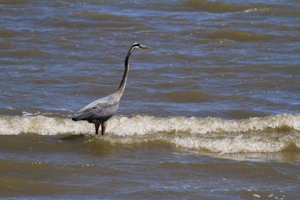 Great Blue Heron Fishes in the ocean