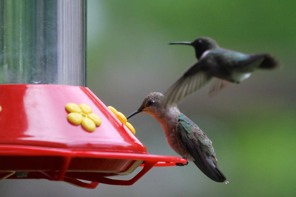 Black Chinned Humming birds at the feeder
