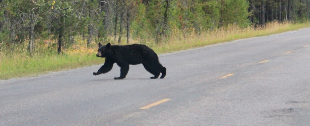 Little Black Bear crossing the road