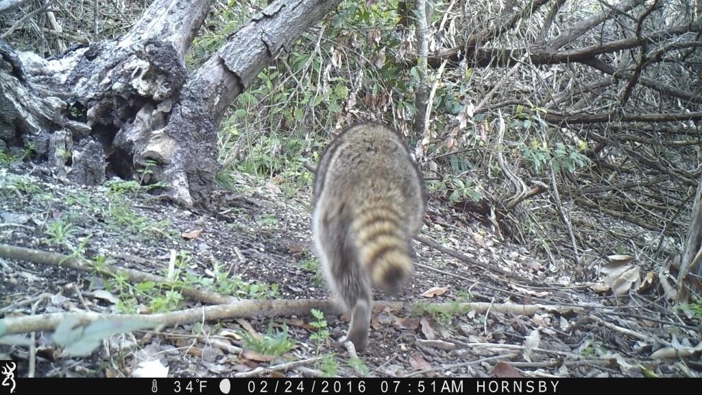 Raccoon Booty