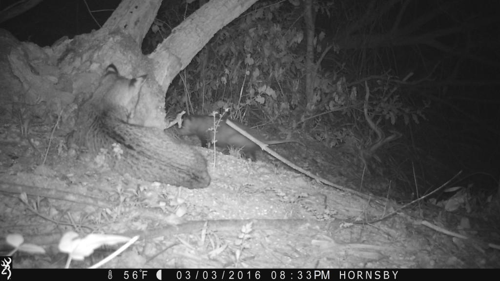 Bobcat ignores a possum that walks by...incredible..