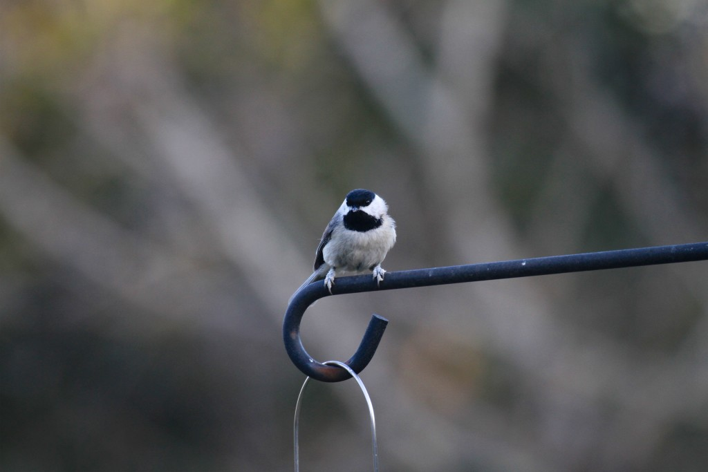 Black Cap Chickadee on our feeder