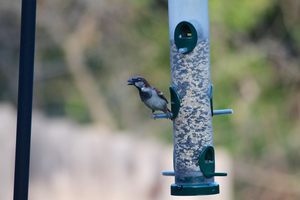 House Sparrow on our Feeder