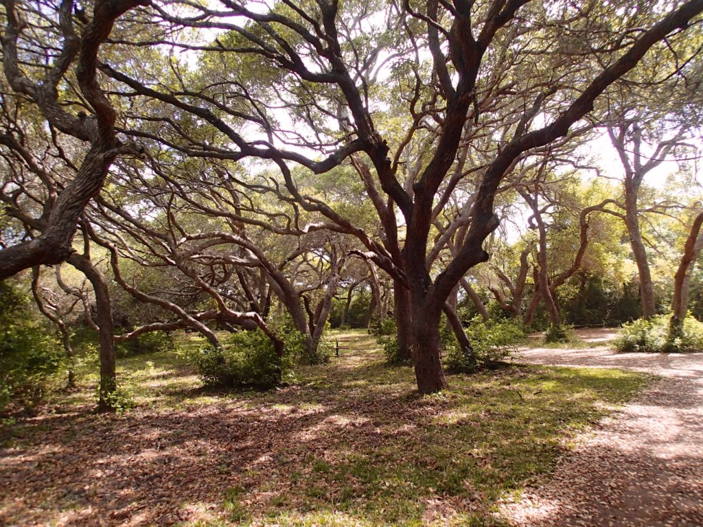 Wonderful Oak Mot in Aransas National wildlife refuge