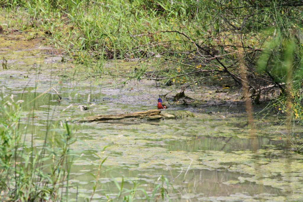 Painted Bunting takes a bath
