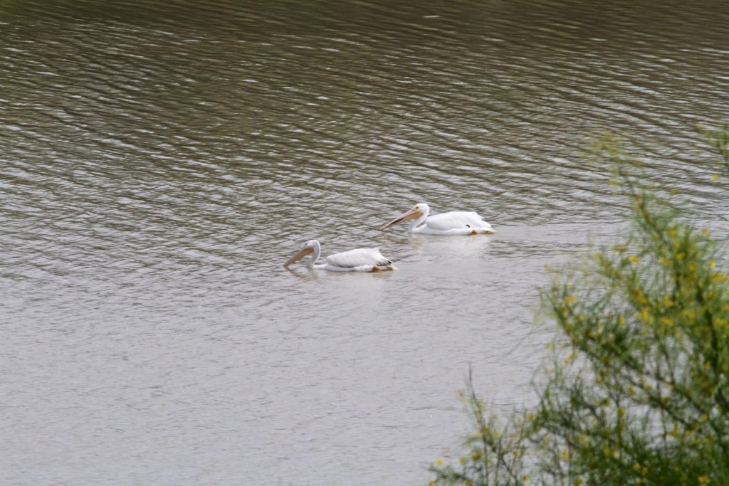 White Pelicans!! Big find for us..