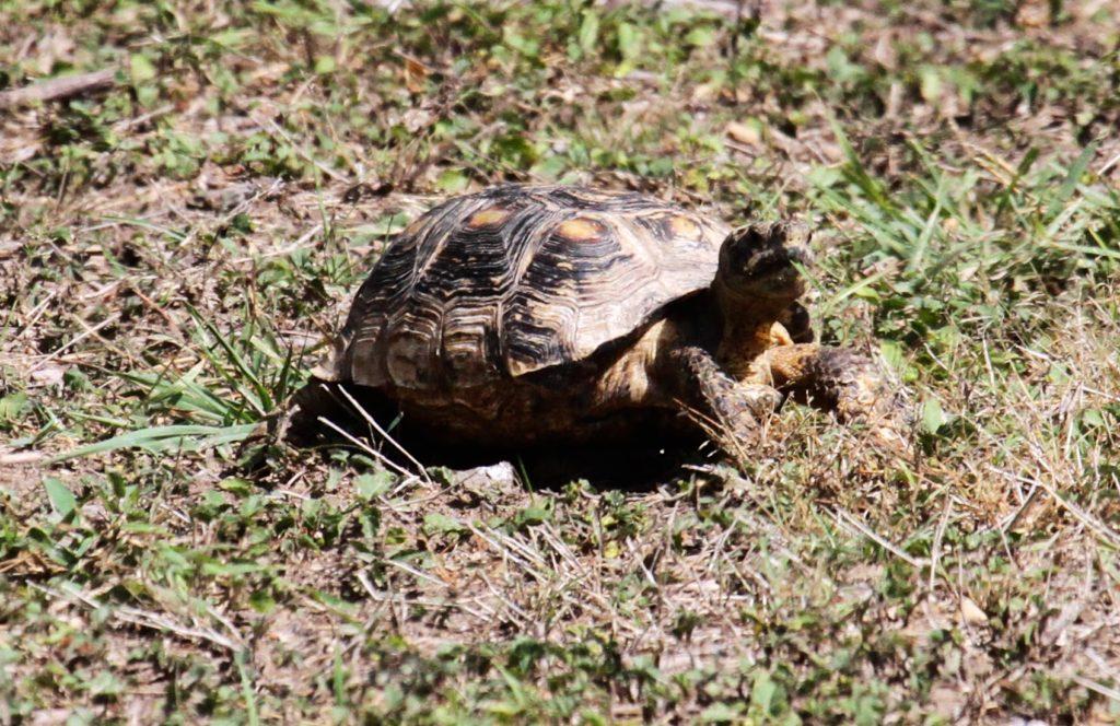 Box Turtle?